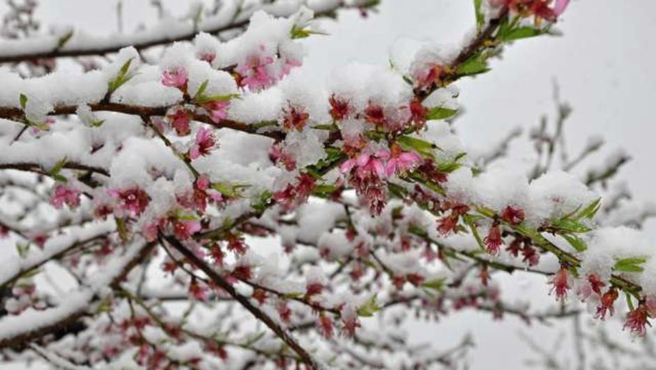 Nizke temperature prizadele cvetoče sadno drevje, pa tudi izpostavljene vrtnine (foto: Rasto Božič/STA)