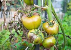 Vrtičkarji, pozor! Pojavil se je nevaren virus, ki ogroža pridelavo paradižnika in paprike