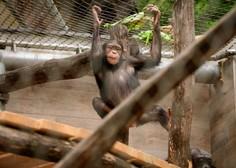 V ljubljanskem živalskem vrtu so se razveselili šimpanzjega podmladka