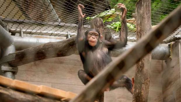 V ljubljanskem živalskem vrtu so se razveselili šimpanzjega podmladka (foto: Nebojša Tejić/STA)