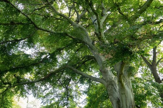 Novo najvišje drevo v Sloveniji je 67 metrov visoka Pečovniška duglazija