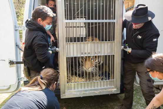 V ljubljanskem živalskem vrtu sibirska tigrica Vita dobila novega ženina