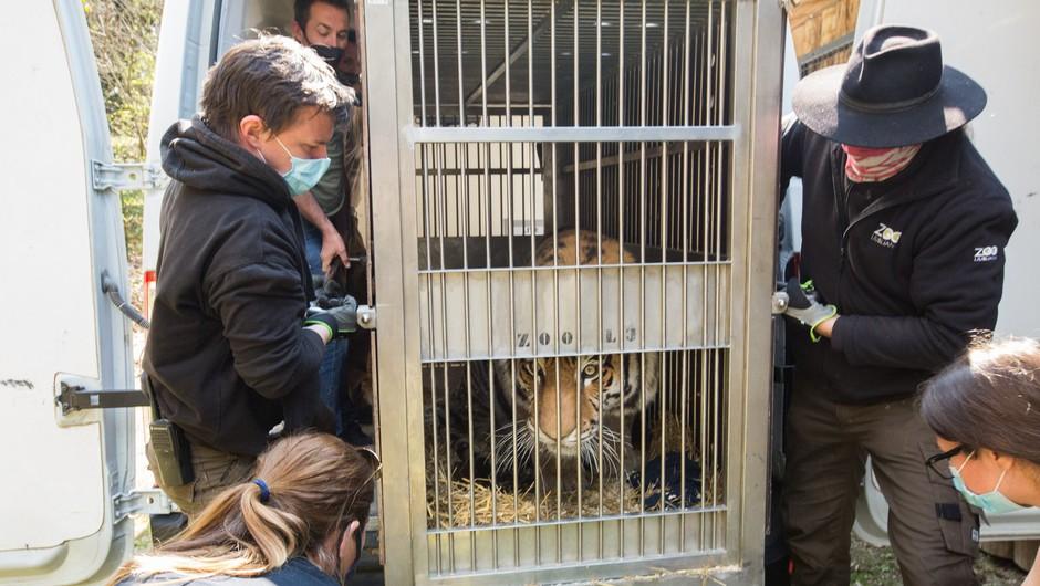 V ljubljanskem živalskem vrtu sibirska tigrica Vita dobila novega ženina (foto: ZOO Ljubljana/Facebook)