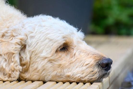 Pasja zvestoba: psička Lady vsak dan čaka pred vrati najljubšega soseda, umrlega pred štirimi leti