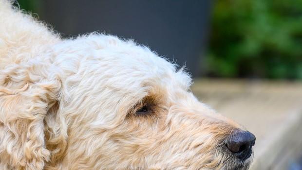 Pasja zvestoba: psička Lady vsak dan čaka pred vrati najljubšega soseda, umrlega pred štirimi leti (foto: profimedia)