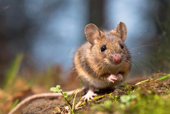 NIJZ opozarja na povečano nevarnost mišje mrzlice, število prijavljenih primerov narašča