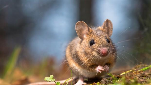 NIJZ opozarja na povečano nevarnost mišje mrzlice, število prijavljenih primerov narašča (foto: Shutterstock)
