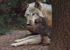 V volčjem tropu v ljubljanskem živalskem vrtu dočakali mladičke