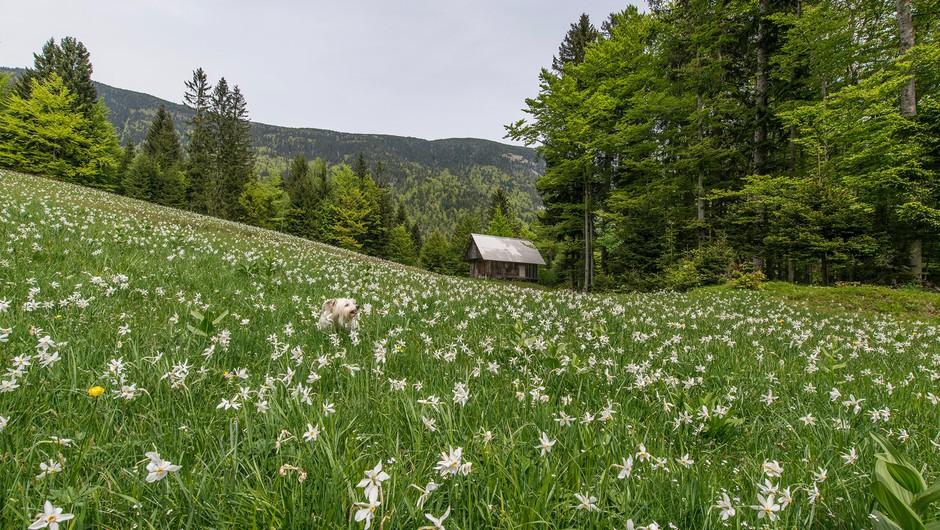 Ideja za eko izlet: Na Golico med cvetoče NARCISE (foto: Aleš Krivec)