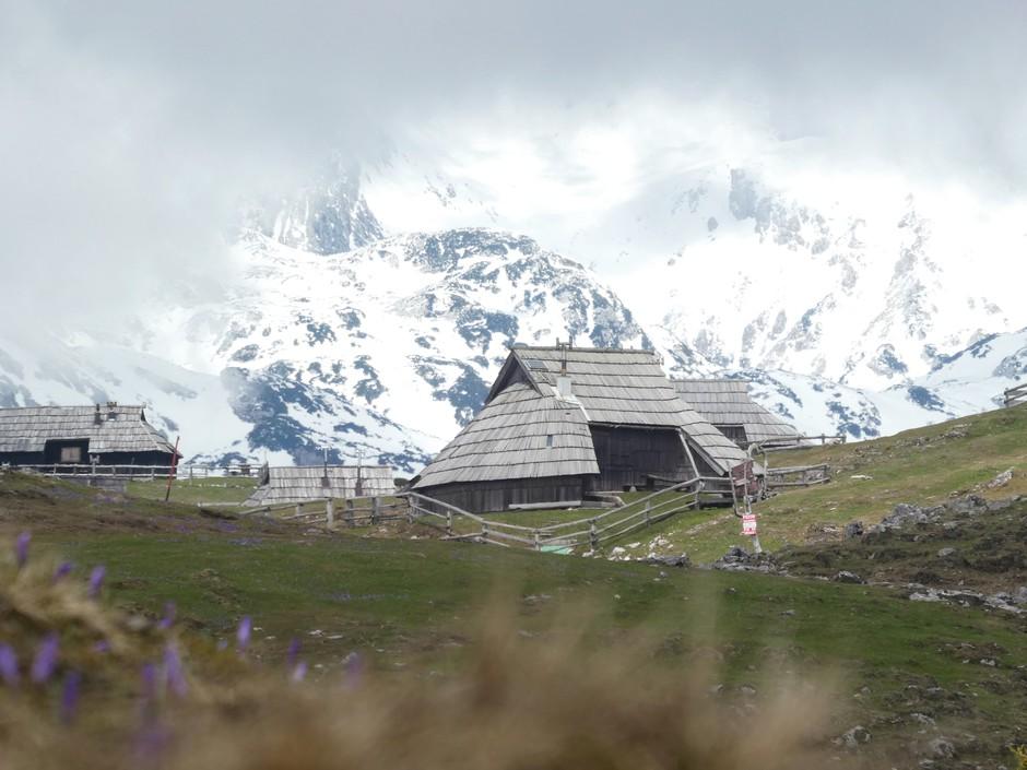 Žafrani na Veliki planini (odlična ideja za skorajšnji izlet) (foto: Vid Legradić)