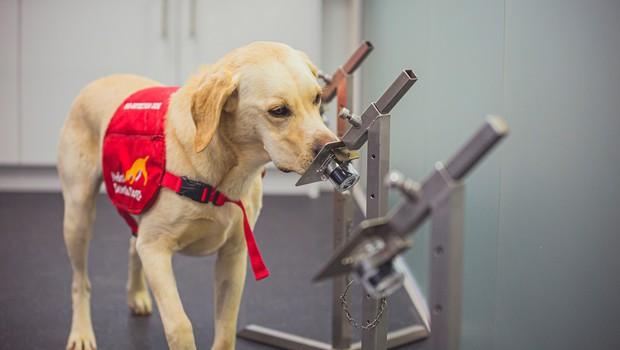 Hitrejši od PCR testov: izurjeni psi diagnosticirajo covid v nekaj sekundah! (foto: profimedia)