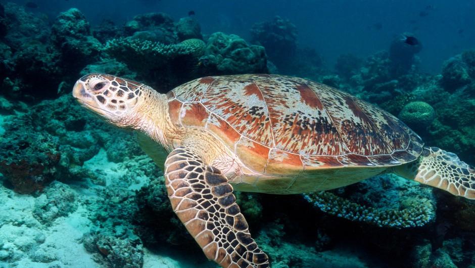 V Ekvadorju potrdili odkritje vrste želve, ki so jo imeli za izumrlo (foto: Profimedia)