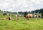 Po brezplačno zdravje na Krvavec (in katera zelišča rastejo na 1500 metrih nadmorske višine)