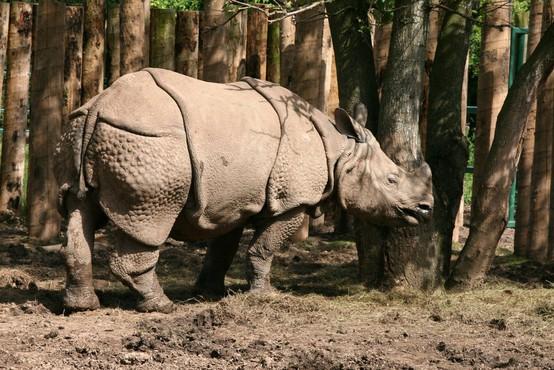 V zadnjem ohranjenem divjem življenjskem okolju za javanske nosoroge opazili dva mladiča