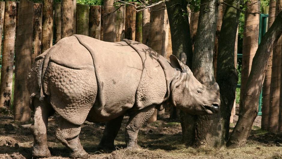 V zadnjem ohranjenem divjem življenjskem okolju za javanske nosoroge opazili dva mladiča (foto: profimedia)