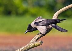 Neurje na Hrvaškem zdesetkalo tudi ptice