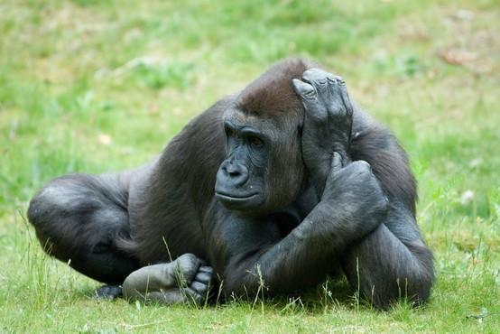 V Kaliforniji proti covudu-19 cepijo tudi prebivalce živalskega vrta