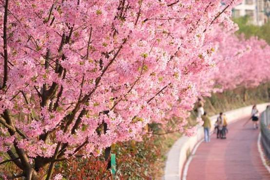 Čarobno cvetenje češenj na Japonsko privabi na tisoče turistov