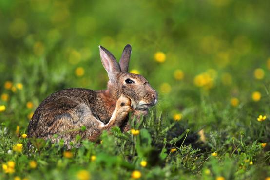 Po mišji na severnem Primorskem tudi zajčja mrzlica
