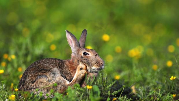 Po mišji na severnem Primorskem tudi zajčja mrzlica (foto: Profimedia)