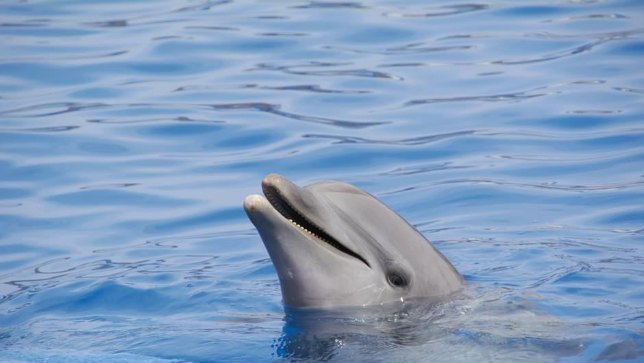 V slovenskem morju opazili prvega letošnjega delfinjega mladiča (foto: profimedia)