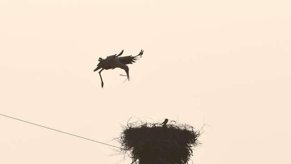Štorkljina mladiča Riki in Kiki skupaj na poti v Afriko (foto: Xinhua/STA)