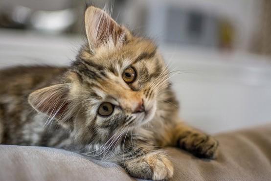 Mačje lepotice vseh vrst na mednarodni razstavi v Ljubljani