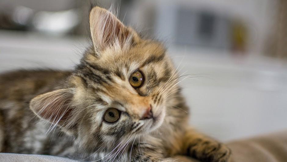 Mačje lepotice vseh vrst na mednarodni razstavi v Ljubljani (foto: profimedia)