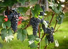 Vinarji trgatve napovedujejo nekoliko pozneje kot lani