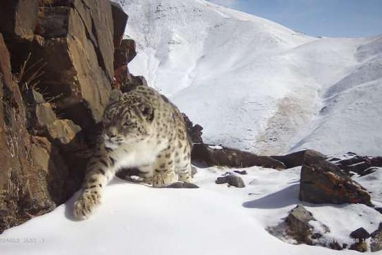 Snežni leopardi se umikajo pred naraščajočo rejo drobnice