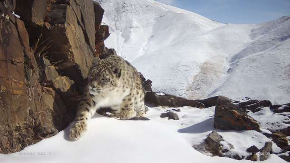 Snežni leopardi se umikajo pred naraščajočo rejo drobnice (foto: Xinhua/STA)