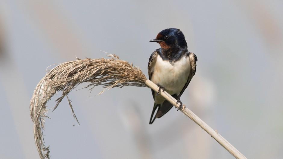 Lastovka - mala velika ptica, ki s septembrom odhaja na dolgo pot (foto: profimedia)