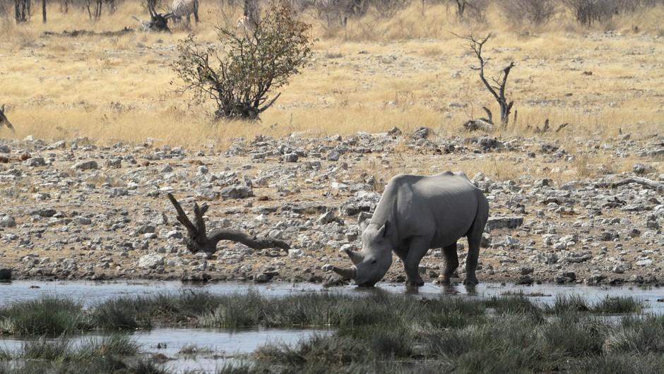 Biotska raznovrstnost (ali zakaj naj človeštvo skrbi, če izumre črni nosorog)! (foto: profimedia)