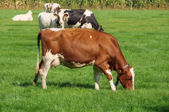 Znanstveniki krave naučili uporabljati stranišče