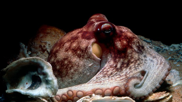 Tako je nek Dalmatinec s svojimi golimi rokami ujel hobotnico (foto: profimedia)