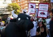 »To ni umetnost, to ni kultura!« V Madridu glasni protesti proti bikoborbam
