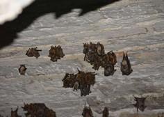 V Laosu našli netopirje z virusi, podobnimi novemu koronavirusu