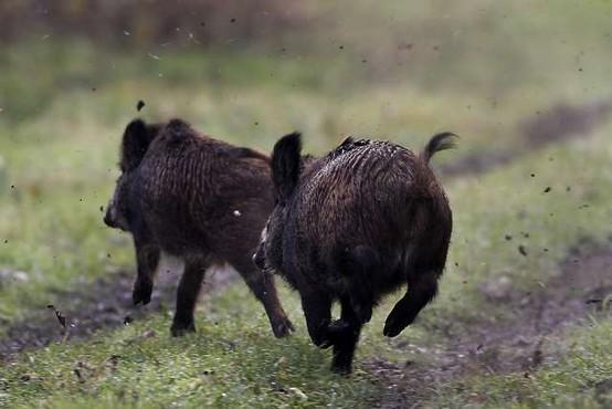 Poginuli divji prašič s Pohorja ni bil okužen z virusom afriške prašičje kuge