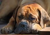 Pes uboga lastnika, ki mu zaupa (ne sme pa se ga bati)!