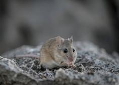 Število primerov mišje mrzlice letos enormno poraslo, ena oseba je umrla