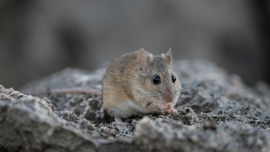 Število primerov mišje mrzlice letos enormno poraslo, ena oseba je umrla (foto: Profimedia)