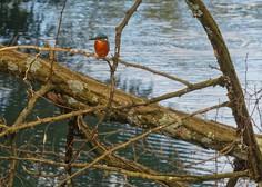 Skoraj petini evropskih vrst ptic grozi izumrtje, na svetu ogrožen obstoj vsake osme vrste